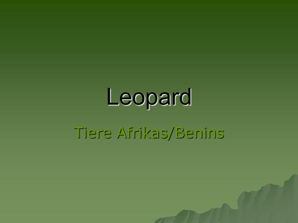 Leopard Tiere Afrikas/Benins