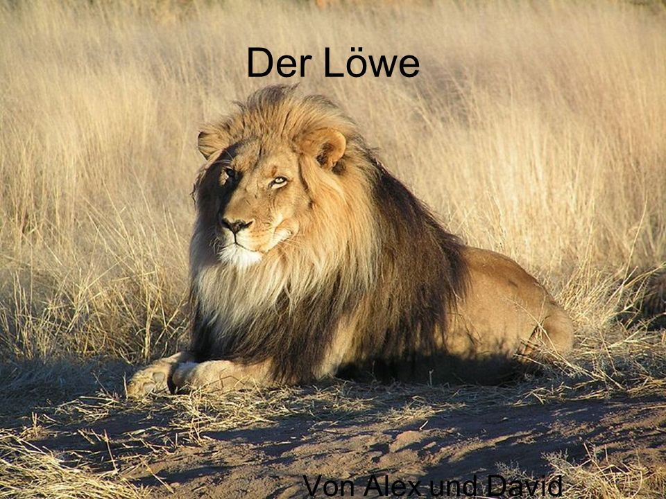 Der Löwe Von Alex und David