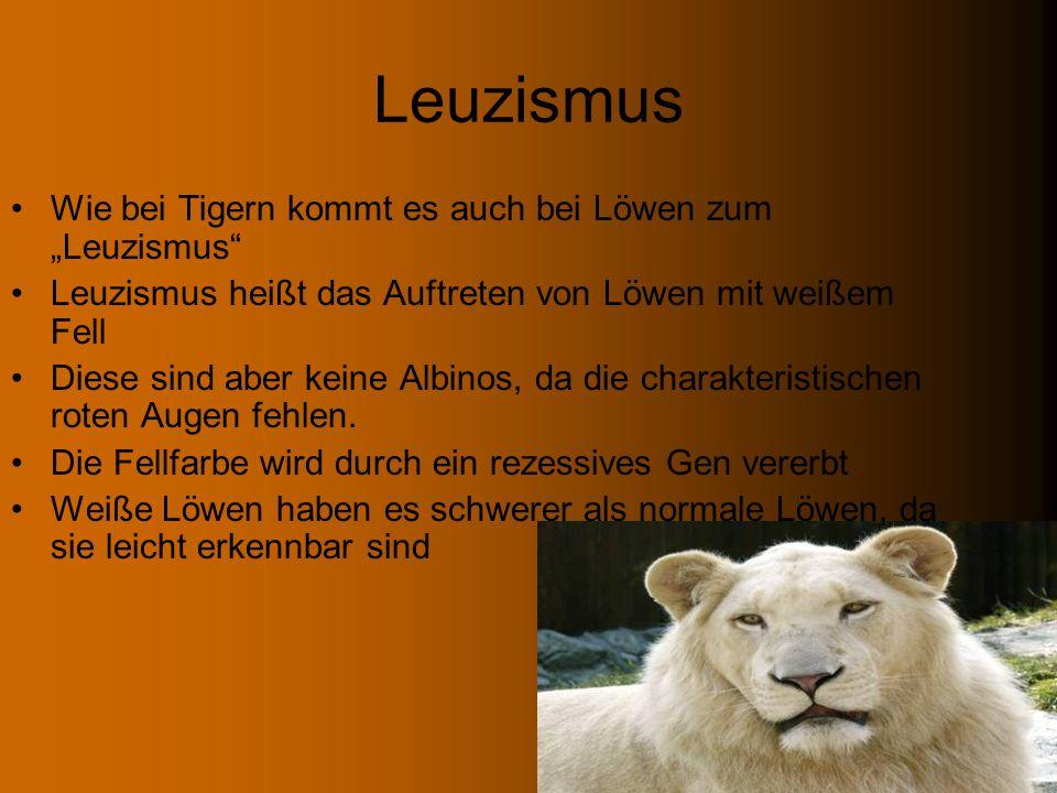 """Leuzismus Wie bei Tigern kommt es auch bei Löwen zum """"Leuzismus"""
