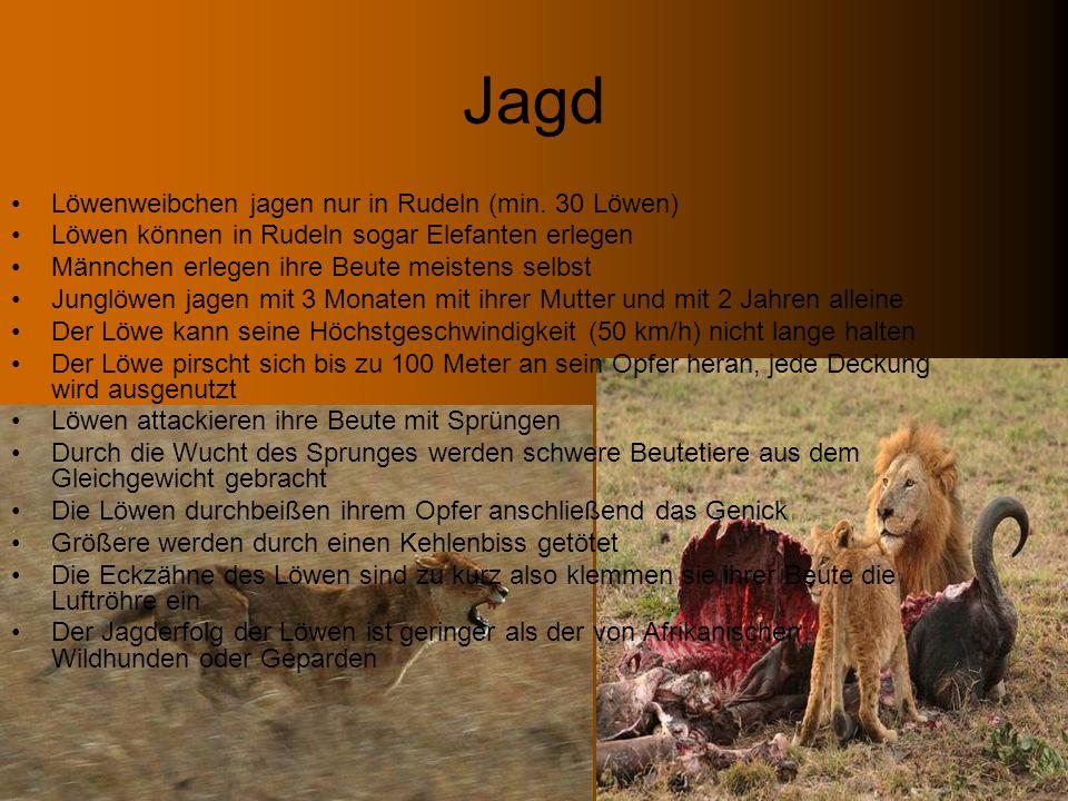 Jagd Löwenweibchen jagen nur in Rudeln (min. 30 Löwen)