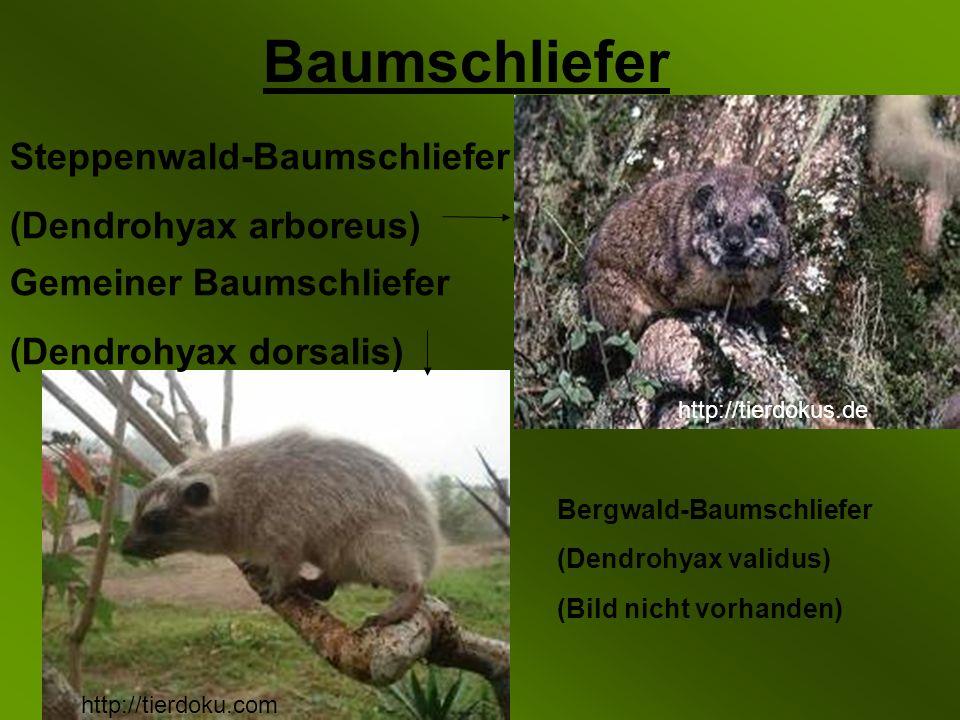 Baumschliefer Steppenwald-Baumschliefer (Dendrohyax arboreus)