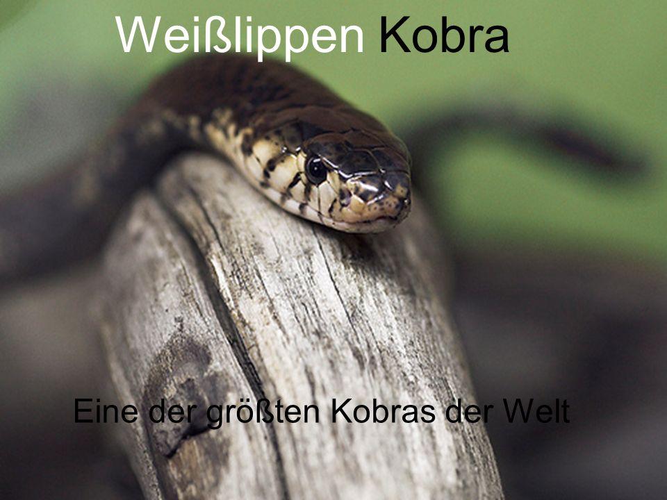 Eine der größten Kobras der Welt