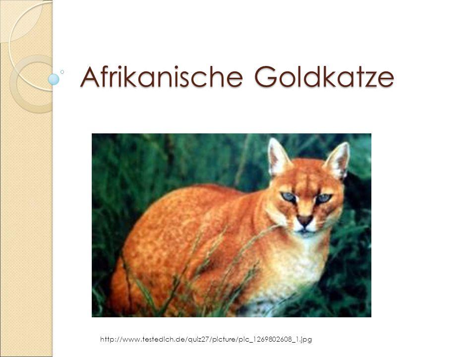 Afrikanische Goldkatze