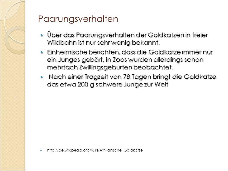 Paarungsverhalten Über das Paarungsverhalten der Goldkatzen in freier Wildbahn ist nur sehr wenig bekannt.