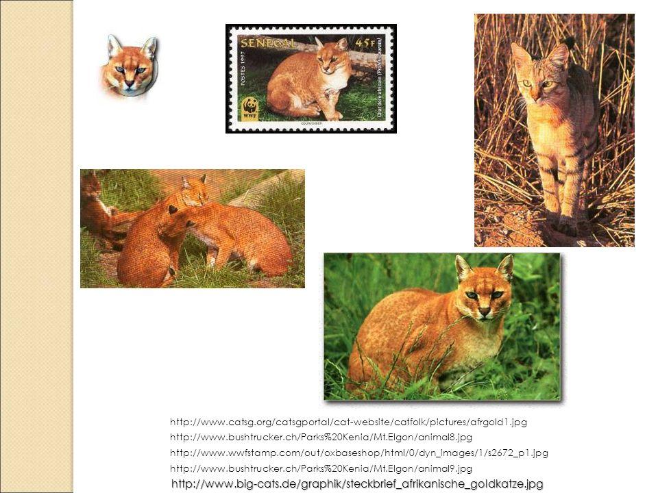http://www.catsg.org/catsgportal/cat-website/catfolk/pictures/afrgold1.jpg http://www.bushtrucker.ch/Parks%20Kenia/Mt.Elgon/animal8.jpg.