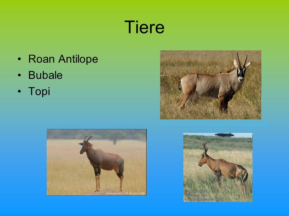 Tiere Roan Antilope Bubale Topi