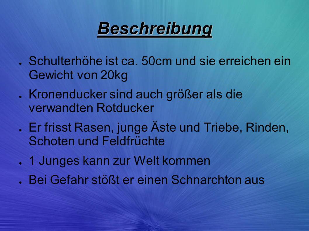 Beschreibung Schulterhöhe ist ca. 50cm und sie erreichen ein Gewicht von 20kg. Kronenducker sind auch größer als die verwandten Rotducker.