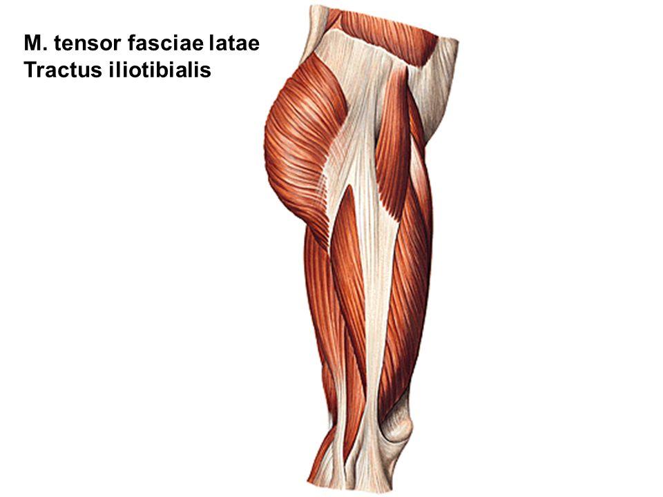 M. tensor fasciae latae Tractus iliotibialis
