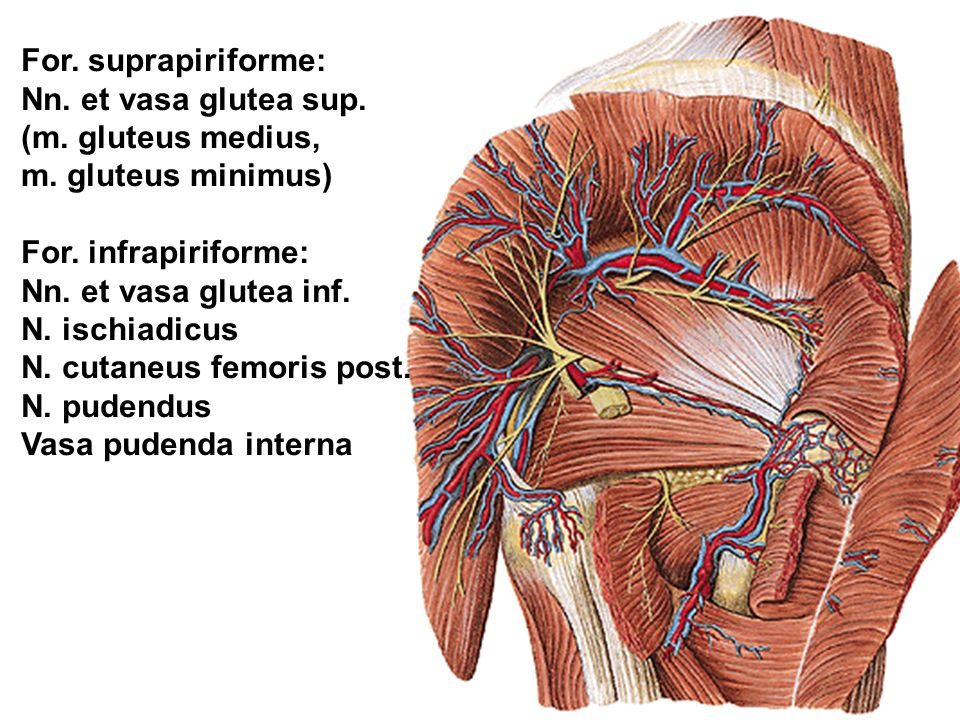 For. suprapiriforme: Nn. et vasa glutea sup. (m. gluteus medius, m. gluteus minimus) For. infrapiriforme: