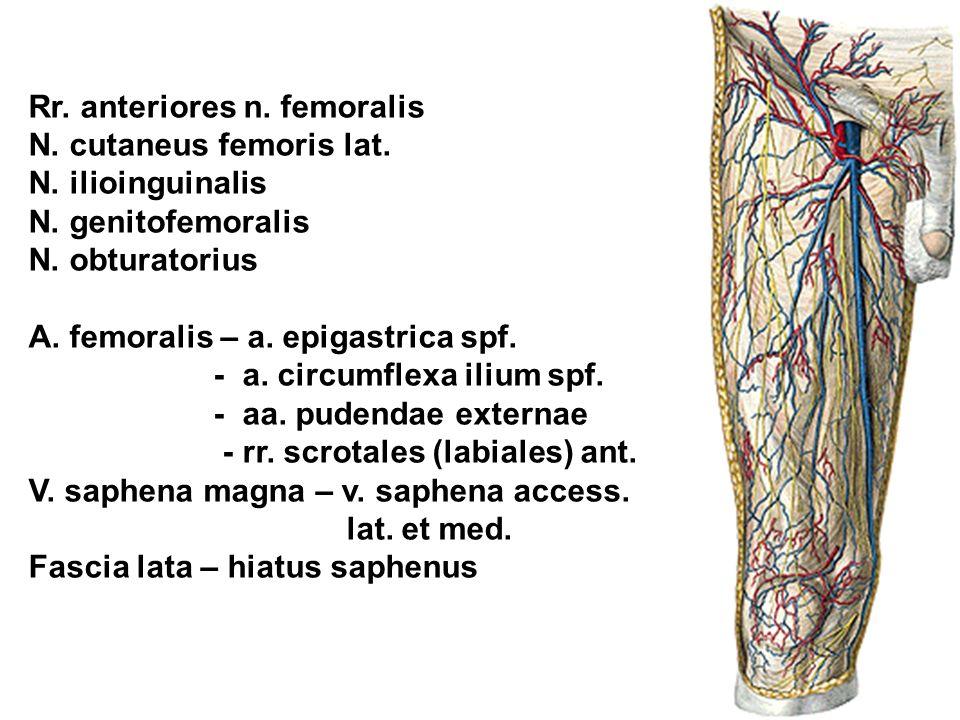Rr. anteriores n. femoralis