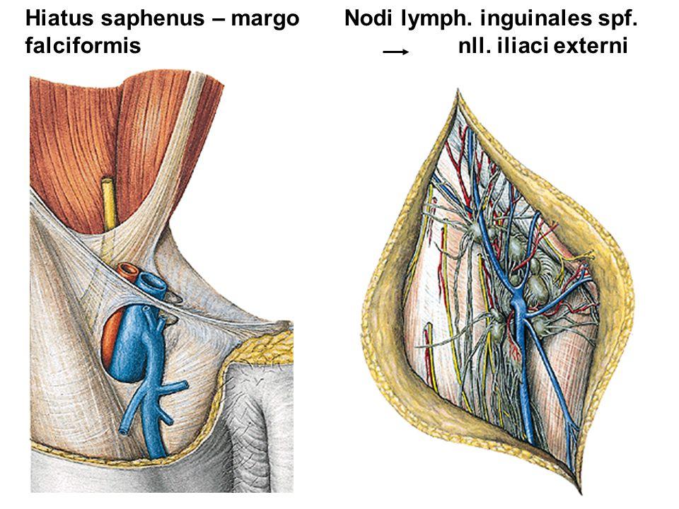 Hiatus saphenus – margo Nodi lymph. inguinales spf.