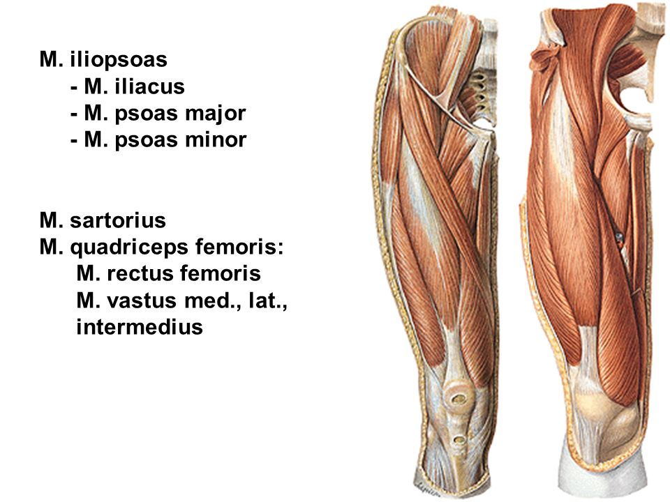 M. iliopsoas - M. iliacus. - M. psoas major. - M. psoas minor. M. sartorius. M. quadriceps femoris: