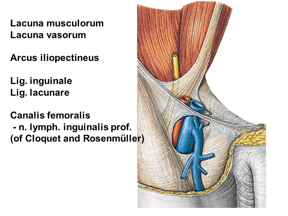 Lacuna musculorum Lacuna vasorum. Arcus iliopectineus. Lig. inguinale. Lig. lacunare. Canalis femoralis.