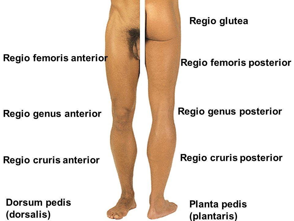 Regio glutea Regio femoris anterior. Regio femoris posterior. Regio genus posterior. Regio genus anterior.