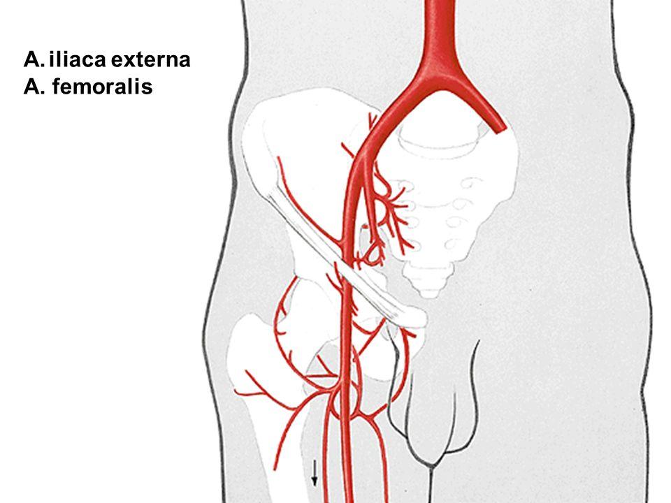 iliaca externa A. femoralis