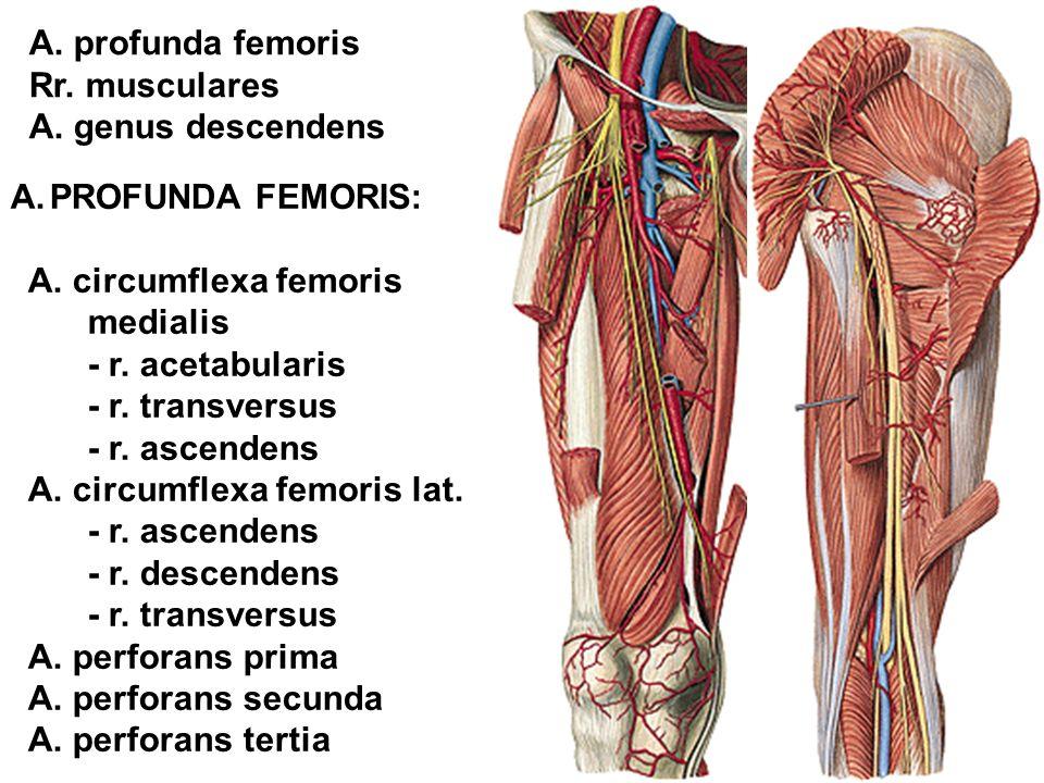 A. profunda femoris Rr. musculares. A. genus descendens. PROFUNDA FEMORIS: A. circumflexa femoris.