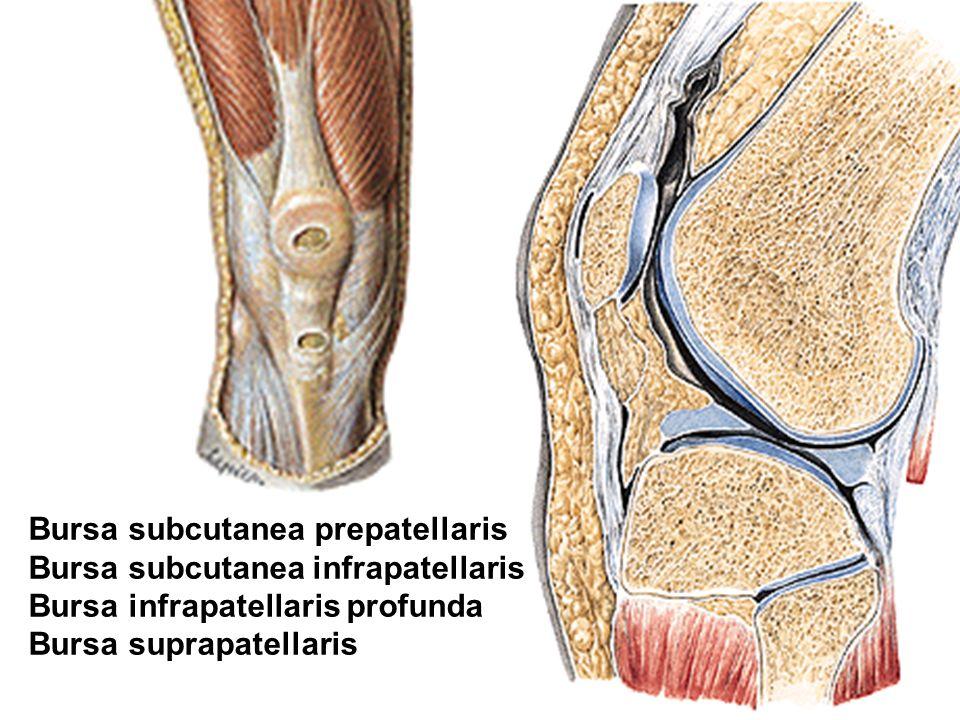 Bursa subcutanea prepatellaris