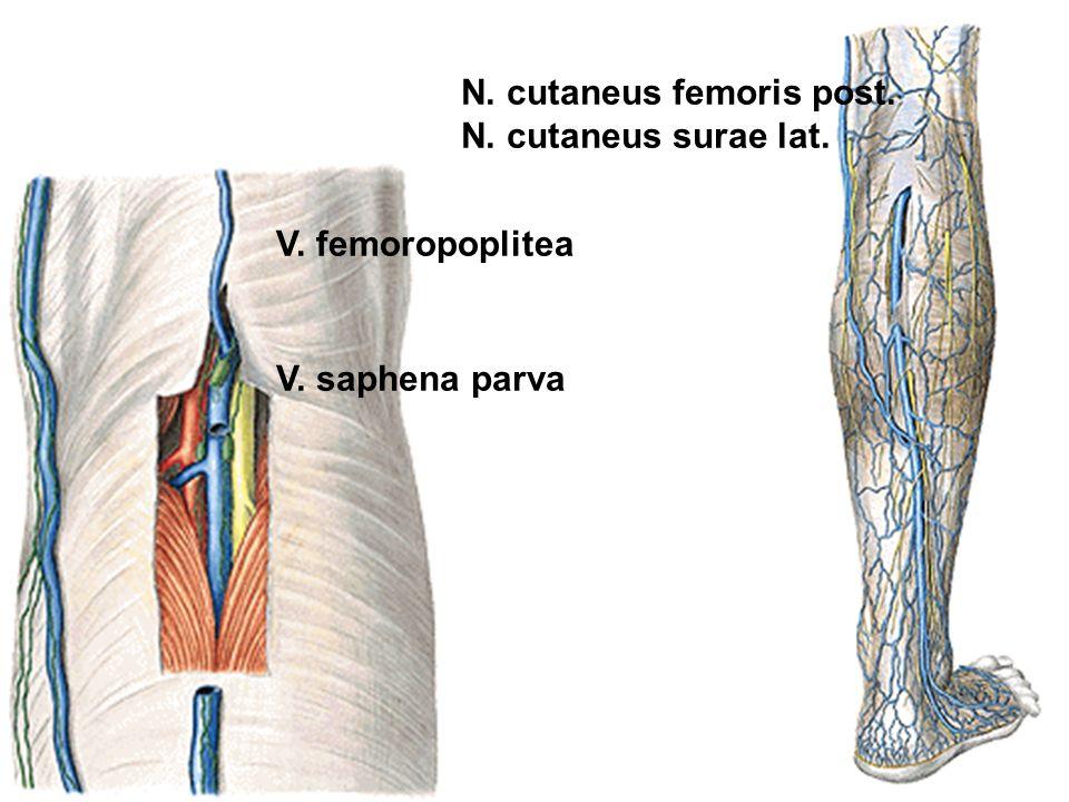 N. cutaneus femoris post.