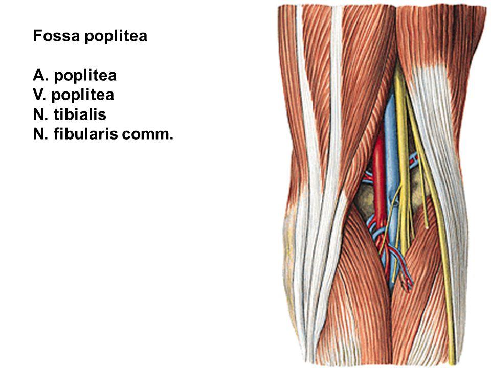 Fossa poplitea A. poplitea V. poplitea N. tibialis N. fibularis comm.