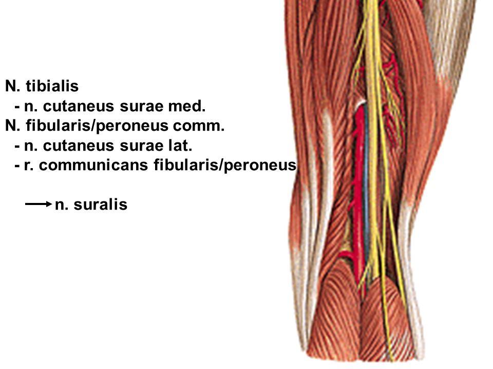 N. tibialis - n. cutaneus surae med. N. fibularis/peroneus comm. - n. cutaneus surae lat. - r. communicans fibularis/peroneus.