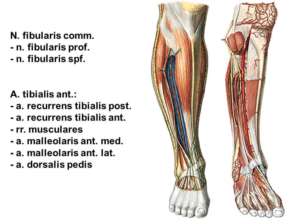 N. fibularis comm. - n. fibularis prof. - n. fibularis spf. A. tibialis ant.: - a. recurrens tibialis post.