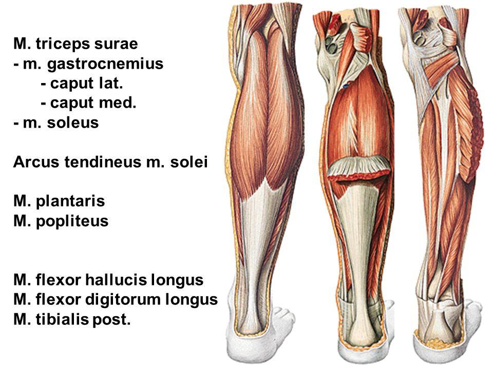 M. triceps surae - m. gastrocnemius. - caput lat. - caput med. - m. soleus. Arcus tendineus m. solei.