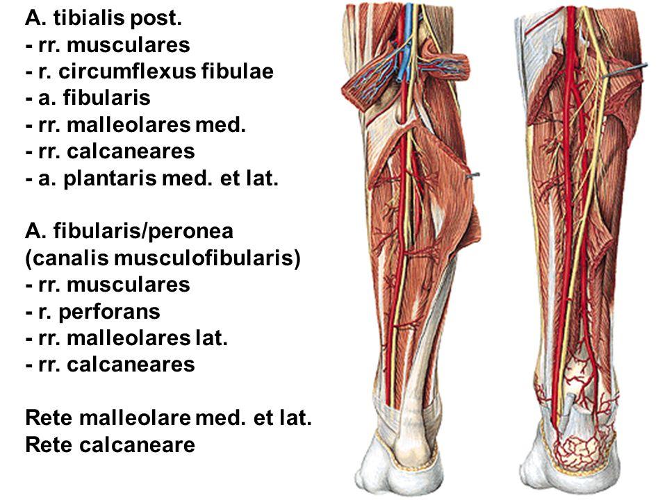 A. tibialis post. - rr. musculares. - r. circumflexus fibulae. - a. fibularis. - rr. malleolares med.