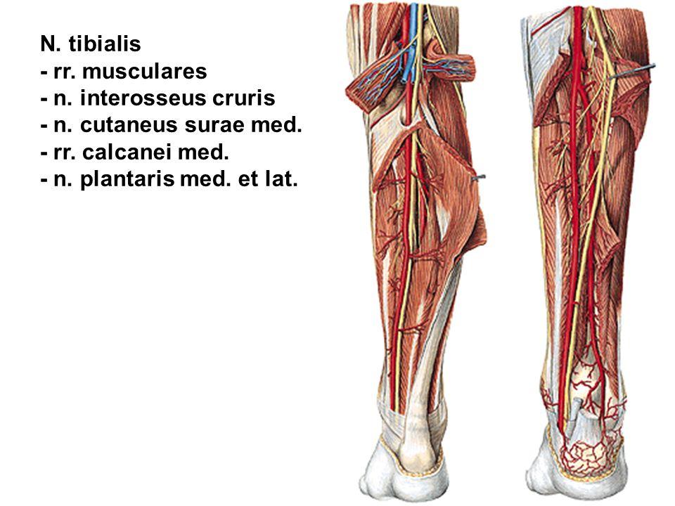 N. tibialis - rr. musculares. - n. interosseus cruris. - n. cutaneus surae med. - rr. calcanei med.
