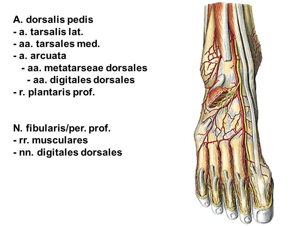 A. dorsalis pedis - a. tarsalis lat. - aa. tarsales med. - a. arcuata. - aa. metatarseae dorsales.
