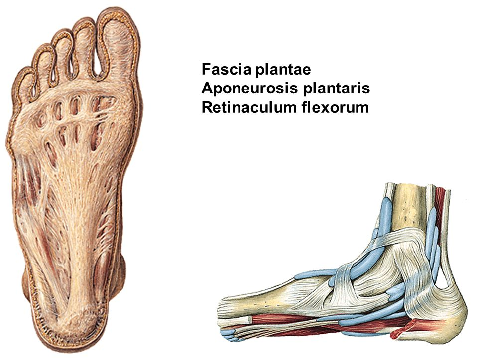 Fascia plantae Aponeurosis plantaris Retinaculum flexorum