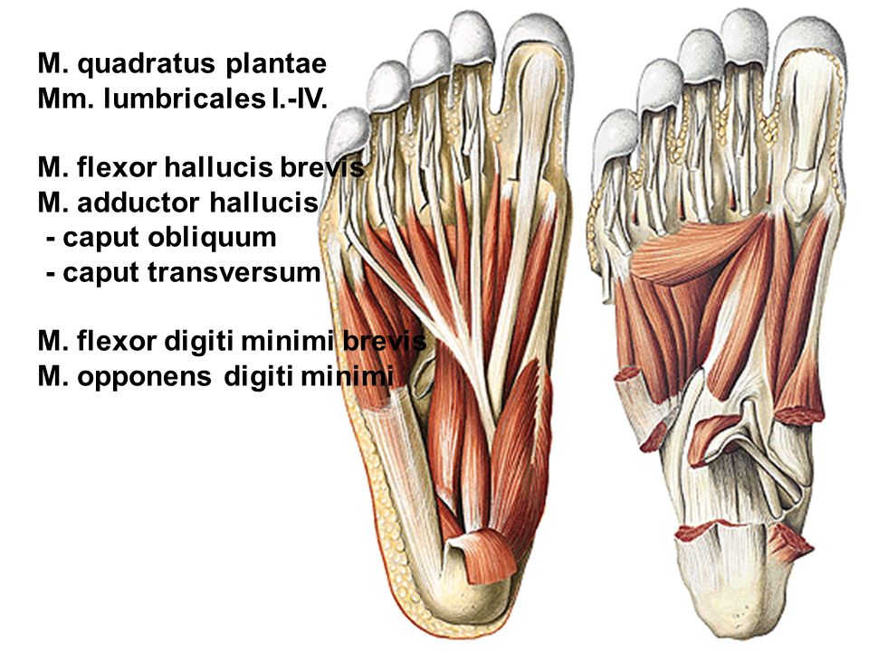 M. quadratus plantae Mm. lumbricales I.-IV. M. flexor hallucis brevis. M. adductor hallucis. - caput obliquum.