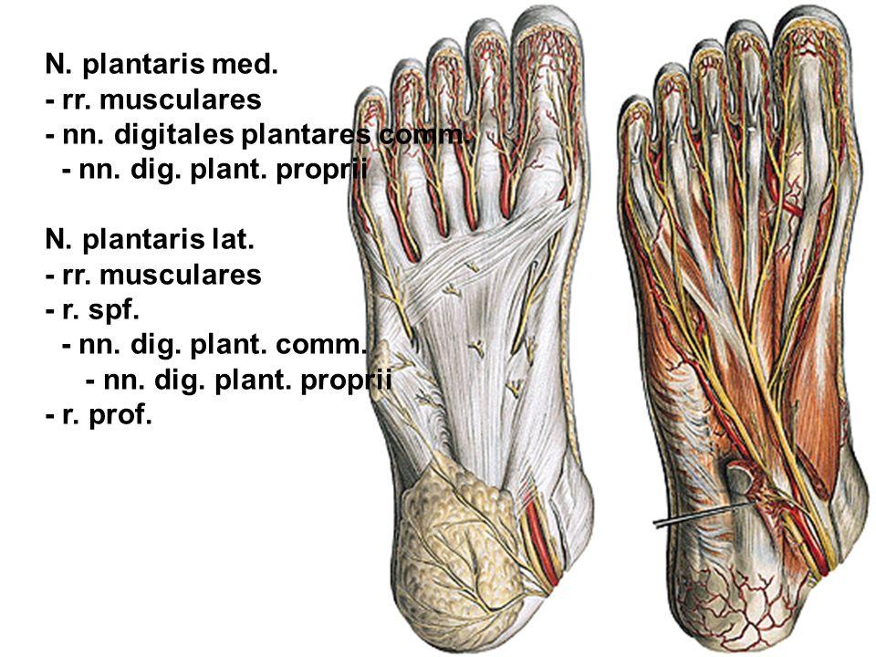 N. plantaris med. - rr. musculares. - nn. digitales plantares comm. - nn. dig. plant. proprii. N. plantaris lat.