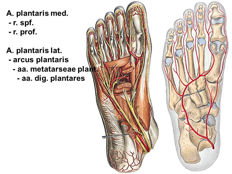 A. plantaris med. - r. spf. - r. prof. A. plantaris lat. - arcus plantaris. - aa. metatarseae plant.