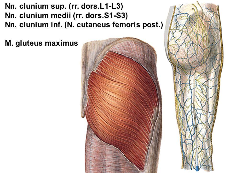 Nn. clunium sup. (rr. dors.L1-L3)
