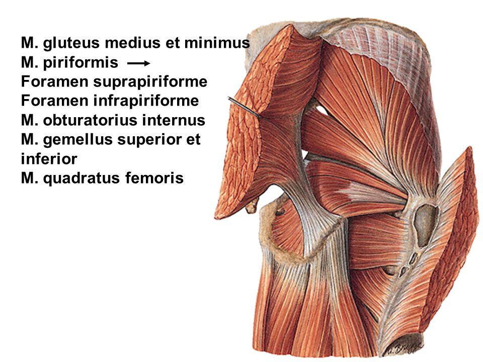 M. gluteus medius et minimus