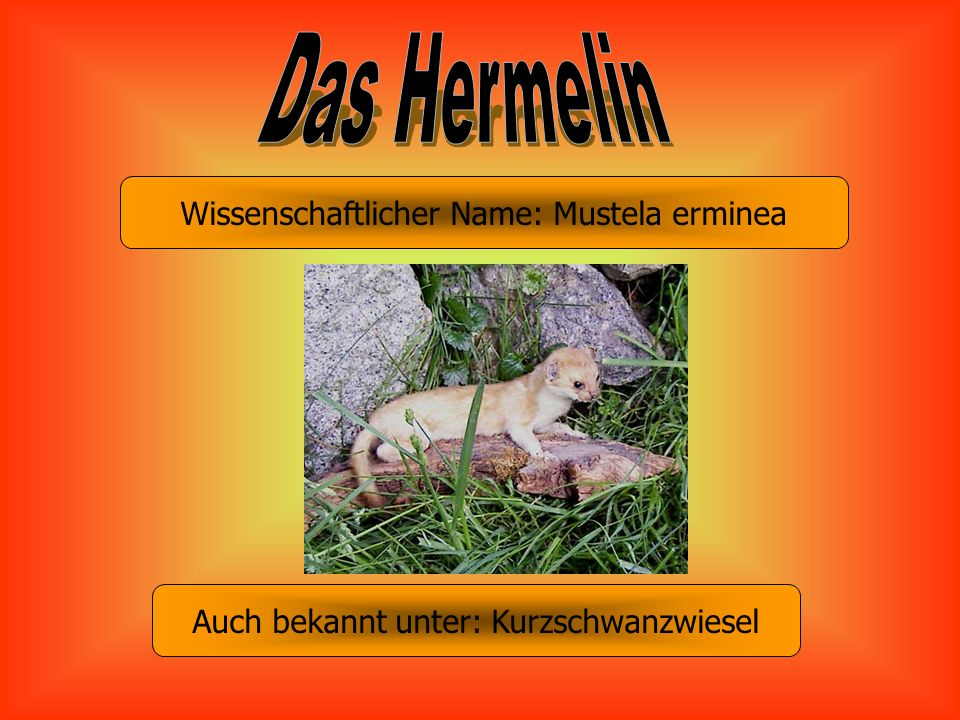 Das Hermelin Wissenschaftlicher Name: Mustela erminea