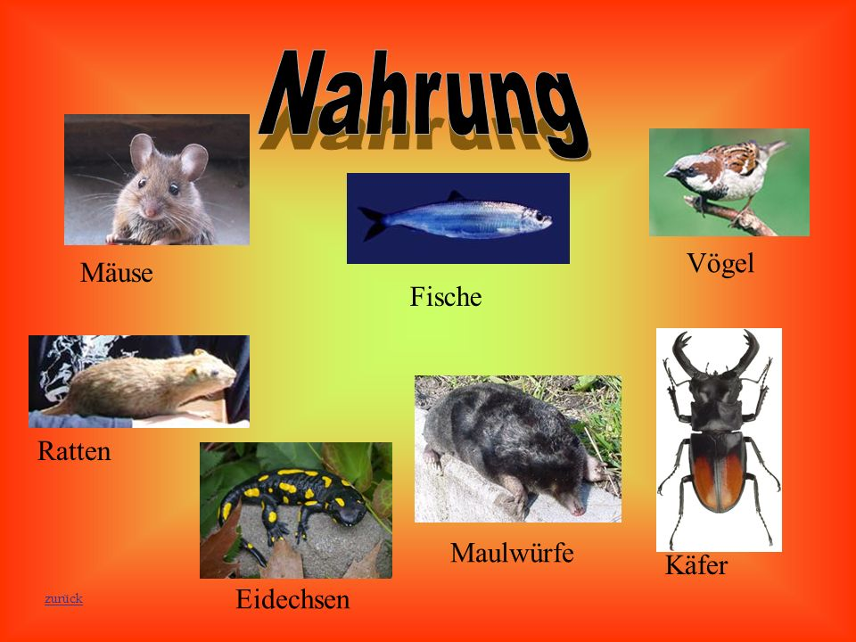 Nahrung Fische Vögel Mäuse Maulwürfe Käfer Eidechsen Ratten zurück