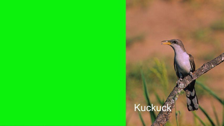 Seiteneinblender Kuckuck