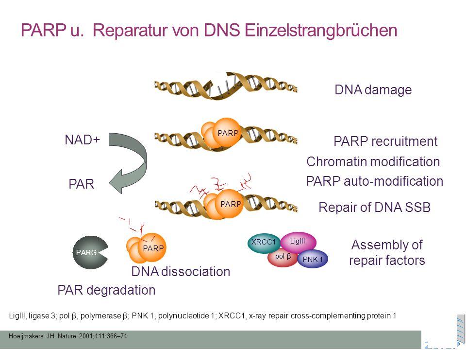 PARP u. Reparatur von DNS Einzelstrangbrüchen