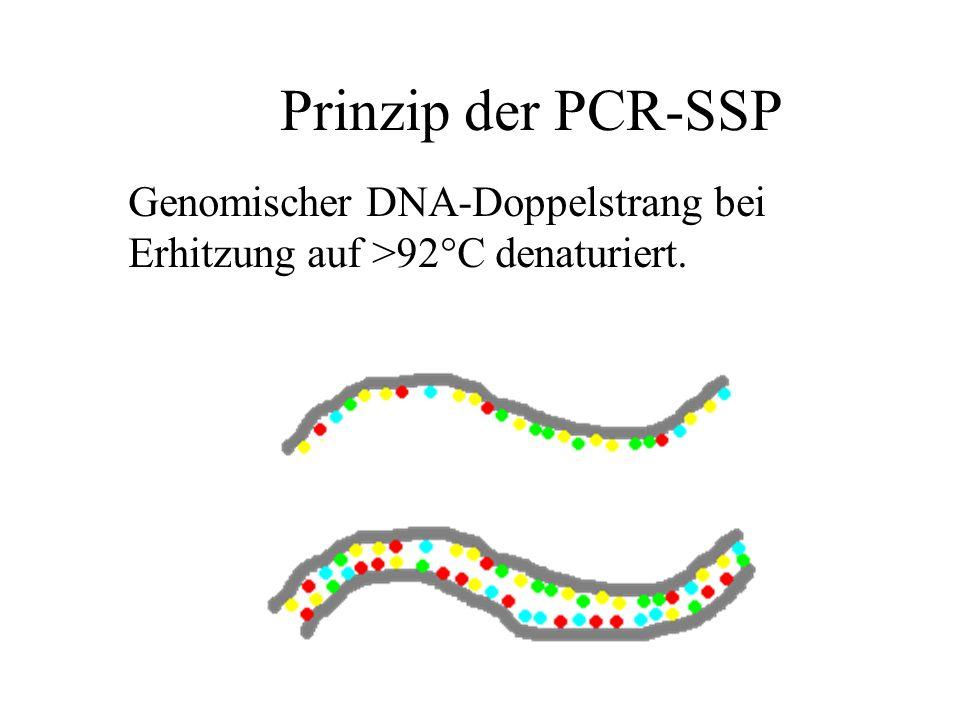 Prinzip der PCR-SSP Genomischer DNA-Doppelstrang bei
