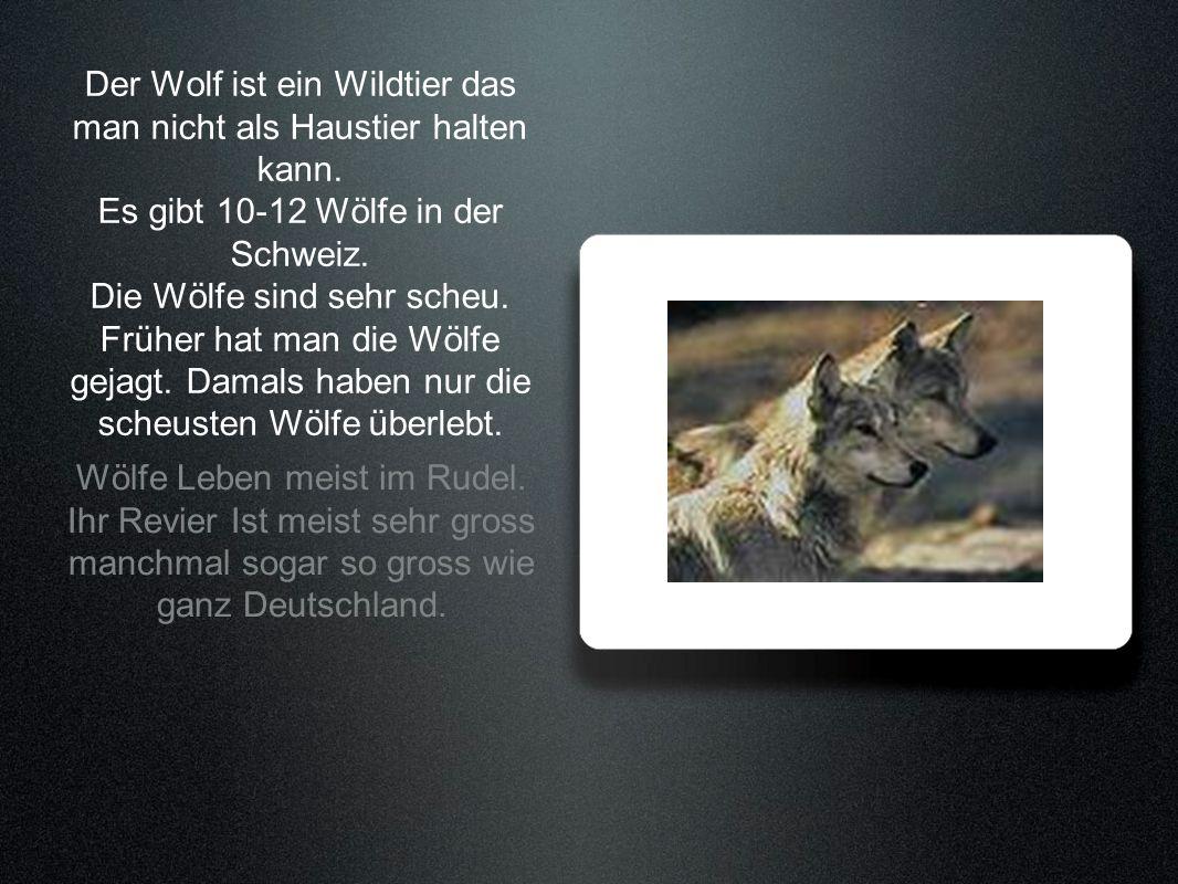 Der Wolf ist ein Wildtier das man nicht als Haustier halten kann