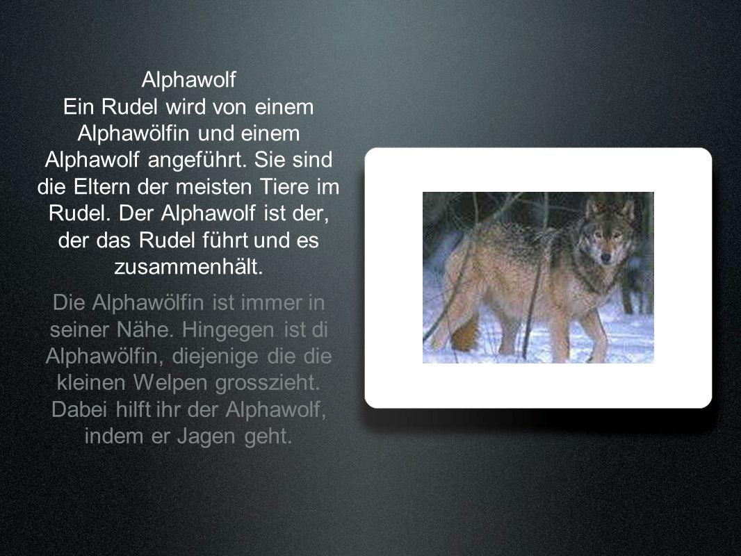 Alphawolf Ein Rudel wird von einem Alphawölfin und einem Alphawolf angeführt. Sie sind die Eltern der meisten Tiere im Rudel. Der Alphawolf ist der, der das Rudel führt und es zusammenhält.