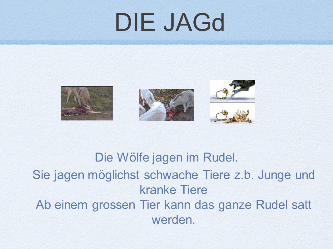 DIE JAGd Die Wölfe jagen im Rudel.