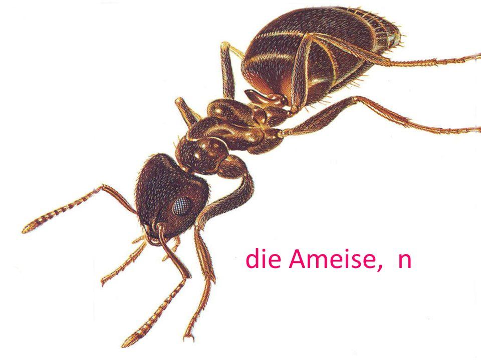 die Ameise, n