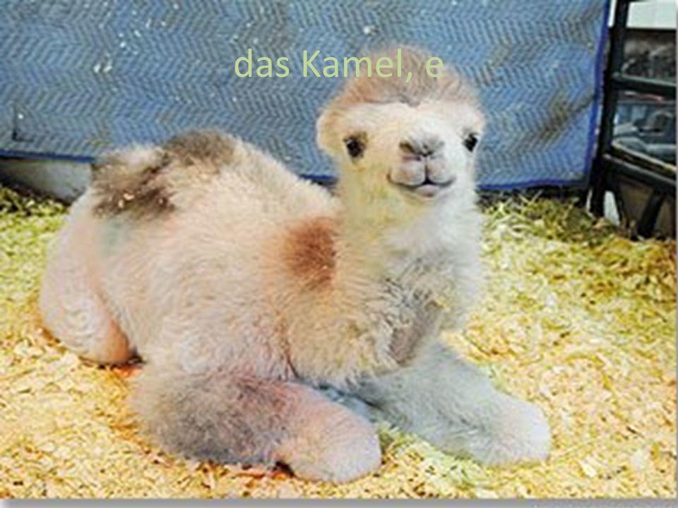 das Kamel, e
