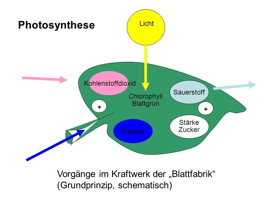 Wasser Kohlenstoffdioxid. Chlorophyll. Blattgrün. Sauerstoff. Stärke. Zucker. + Licht. Photosynthese.