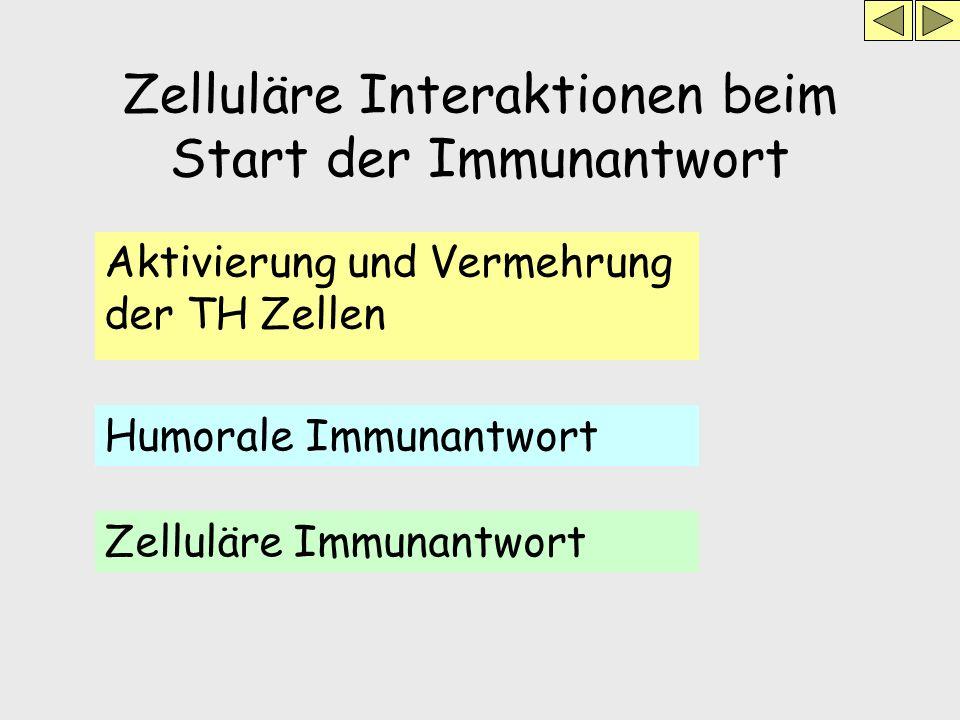 Zelluläre Interaktionen beim Start der Immunantwort