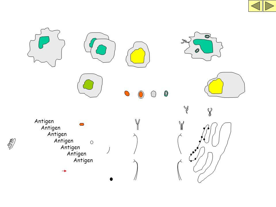 Antigen Antigen Antigen Antigen Antigen Antigen Antigen