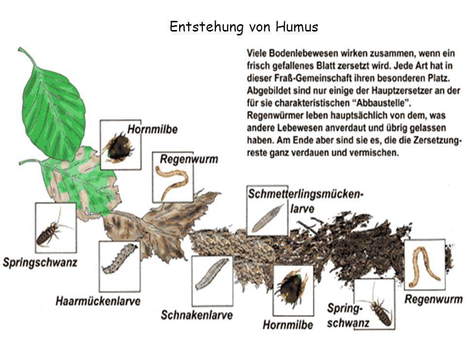 Entstehung von Humus