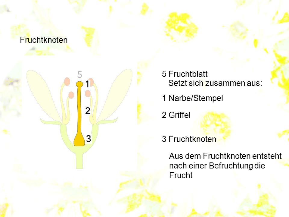 Fruchtknoten 5 Fruchtblatt. Setzt sich zusammen aus: 1 Narbe/Stempel. 2 Griffel. 3 Fruchtknoten.